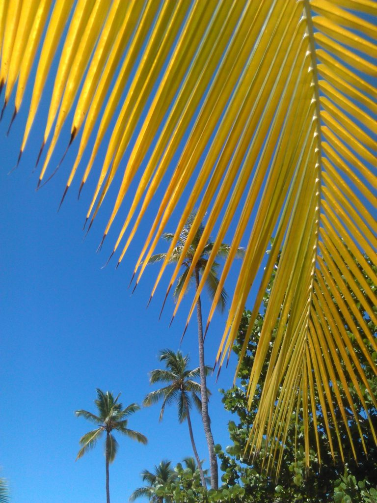 Yellow palms